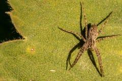 Λίγη αράχνη σε ένα πράσινο φύλλο Στοκ Εικόνα