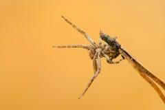 Λίγη αράχνη σε μια ενέδρα Στοκ εικόνες με δικαίωμα ελεύθερης χρήσης