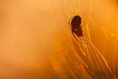 Λίγη αράχνη σκιαγραφιών στον Ιστό στο ηλιοβασίλεμα στενή μακροεντολή μυγών λουλουδιών που στηρίζεται επάνω Στοκ Εικόνες