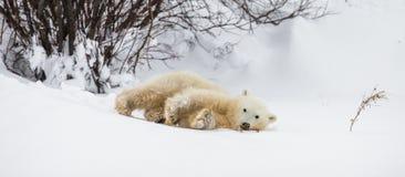 Λίγη αρκούδα παίζει με έναν κλάδο tundra Καναδάς στοκ φωτογραφία με δικαίωμα ελεύθερης χρήσης