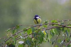 Λίγη αστεία συνεδρίαση πουλιών στη σημύδα διακλαδίζεται κατά τη διάρκεια της κρύας βροχής στοκ φωτογραφία με δικαίωμα ελεύθερης χρήσης
