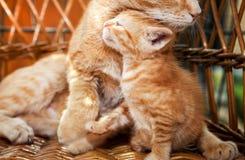 Λίγη γάτα γατακιών και μητέρων Στοκ Εικόνες
