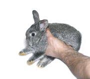 Λίγη γκρίζα φυλή κουνελιών του γκρίζου τσιντσιλά που απομονώνεται Στοκ Φωτογραφίες