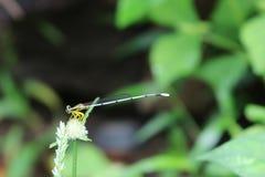 Λίγη λιβελλούλη, άσπρη μακρύς-ουρά στον κήπο Στοκ Εικόνες