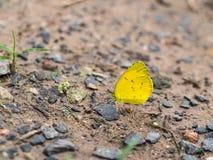 Λίγη κίτρινη πεταλούδα Στοκ Φωτογραφία