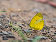 Λίγη κίτρινη πεταλούδα Στοκ Εικόνα