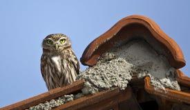 Λίγη κουκουβάγια στη στέγη Στοκ Φωτογραφίες