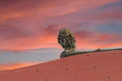 Λίγη κουκουβάγια στη στέγη Στοκ Εικόνες