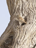 Λίγη κουκουβάγια--Athene Noctua Στοκ Εικόνες