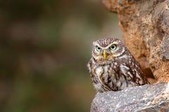 Λίγη κουκουβάγια, noctua Athene, πουλί στον παλαιό αστικό βιότοπο φύσης, τοίχος κάστρων πετρών στη Βουλγαρία Σκηνή άγριας φύσης α στοκ εικόνες