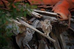 Λίγη κουκουβάγια, noctua Athene, πουλί στο παλαιό κεραμίδι στεγών Αστική άγρια φύση με το πουλί με τα κίτρινα μάτια, Βουλγαρία Σκ στοκ φωτογραφία