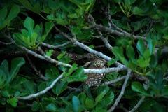 Λίγη κουκουβάγια, noctua Athene, πουλί στο παλαιό κεραμίδι στεγών Αστική άγρια φύση με το πουλί με τα κίτρινα μάτια, Βουλγαρία Σκ στοκ φωτογραφία με δικαίωμα ελεύθερης χρήσης