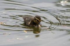 Λίγη κολύμβηση νεοσσών στοκ φωτογραφία