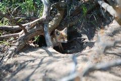 Λίγη κόκκινη αλεπού στην τρύπα στοκ εικόνα με δικαίωμα ελεύθερης χρήσης