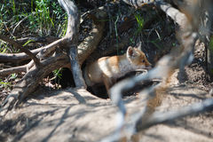Λίγη κόκκινη αλεπού στο δάσος Στοκ φωτογραφία με δικαίωμα ελεύθερης χρήσης