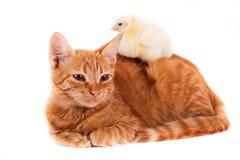 Λίγη κόκκινη γάτα και λίγος νεοσσός στοκ φωτογραφία με δικαίωμα ελεύθερης χρήσης