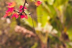 Λίγη λιβελλούλη στον κλάδο σφενδάμνου Στοκ Φωτογραφίες