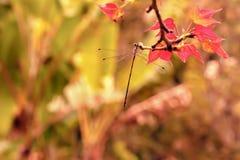 Λίγη λιβελλούλη στον κλάδο σφενδάμνου Στοκ Εικόνες
