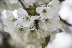 Λίγη μέλισσα που τρώει τα τρόφιμά του από το λουλούδι Στοκ εικόνες με δικαίωμα ελεύθερης χρήσης