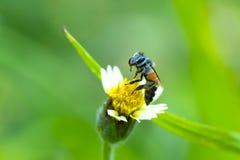 λίγη μέλισσα στο λουλούδι χλόης Στοκ Φωτογραφία