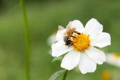 Λίγη μέλισσα στο λουλούδι Στοκ φωτογραφία με δικαίωμα ελεύθερης χρήσης