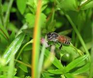 Λίγη μέλισσα μελιού με τα λουλούδια στη χλόη Στοκ Φωτογραφίες