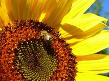 Λίγη μέλισσα μελιού που στέκεται σε έναν ηλίανθο Στοκ Φωτογραφίες