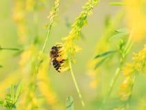 Λίγη μέλισσα μελιού συλλέγει το νέκταρ από τα κίτρινα λουλούδια του τριφυλλιού επάνω Στοκ Εικόνες