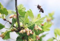 Λίγη μέλισσα που πετά πέρα από τους ανθίζοντας κλάδους Στοκ Φωτογραφίες