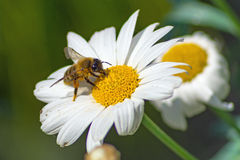 Λίγη μέλισσα στο άσπρο άνθος Στοκ Φωτογραφία