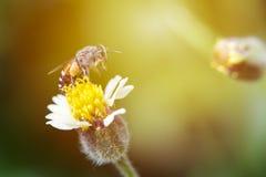Λίγη μέλισσα στο λουλούδι χλόης με το φως του ήλιου στρέψτε μαλακό Στοκ εικόνες με δικαίωμα ελεύθερης χρήσης