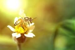 Λίγη μέλισσα στο λουλούδι χλόης με το φως του ήλιου στρέψτε μαλακό Στοκ Εικόνες