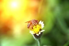 Λίγη μέλισσα στο λουλούδι χλόης με το φως του ήλιου Στοκ φωτογραφίες με δικαίωμα ελεύθερης χρήσης