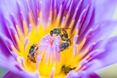 Λίγη μέλισσα στο λουλούδι λωτού Στοκ Φωτογραφίες