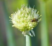 Λίγη μέλισσα στο λουλούδι Στοκ Φωτογραφία