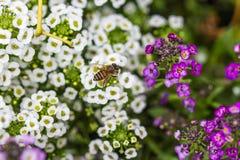 Λίγη μέλισσα στο λουλούδι alyssum Στοκ Εικόνα