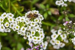 Λίγη μέλισσα στο λουλούδι alyssum Στοκ Φωτογραφίες