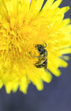 Λίγη μέλισσα συλλέγει το νέκταρ από το κίτρινο λουλούδι της πικραλίδας Στοκ φωτογραφία με δικαίωμα ελεύθερης χρήσης