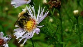 Λίγη μέλισσα απόθεμα βίντεο