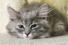 Λίγη μπλε γάτα της σιβηρικής φυλής σε δύο μήνες Στοκ εικόνες με δικαίωμα ελεύθερης χρήσης