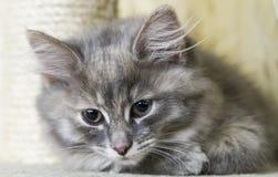 Λίγη μπλε γάτα της σιβηρικής φυλής σε δύο μήνες Στοκ φωτογραφία με δικαίωμα ελεύθερης χρήσης