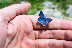 Λίγη μπλε πεταλούδα που στηρίζεται σε ένα αρσενικό παραδίδει Tzoumerka, Ελλάδα Στοκ φωτογραφίες με δικαίωμα ελεύθερης χρήσης