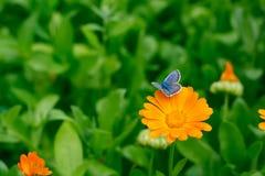 Λίγη μπλε πεταλούδα στο κίτρινο λουλούδι στον πράσινο κήπο Στοκ Εικόνες