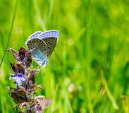 Λίγη μπλε πεταλούδα Polyommatus Ίκαρος σε ένα λουλούδι Στοκ εικόνες με δικαίωμα ελεύθερης χρήσης