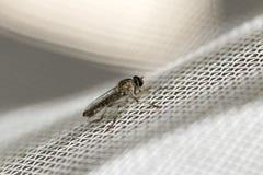 Λίγη μύγα ληστών προσγειώθηκε άσπρο πλαστικό σε έναν καθαρό Μακροεντολή photograp Στοκ Εικόνες