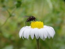 λίγη μύγα στο λουλούδι Στοκ εικόνα με δικαίωμα ελεύθερης χρήσης