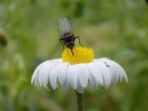 λίγη μύγα στο λουλούδι Στοκ Φωτογραφίες