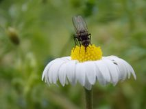 λίγη μύγα στο λουλούδι Στοκ Εικόνες