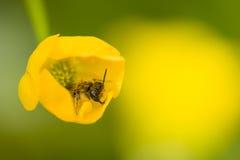 Λίγη μύγα σφηκών στο κίτρινο λουλούδι Στοκ φωτογραφίες με δικαίωμα ελεύθερης χρήσης