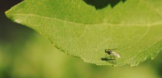 Λίγη μύγα Στοκ Φωτογραφία